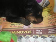 filhotes-de-rottweiler-dormindo-fotos