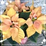 『ポインセチアゴールド+ saxia「サクシア」セット』の植物長持ち体験モニター②