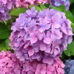 千葉の紫陽花の名所がものすごい穴場だった!!梅雨時期も犬同伴でおでかけしよう