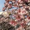 熱海の桜まつりのイベントや近隣のおすすめグルメをご紹介