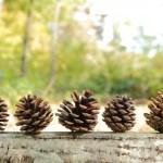 松ぼっくりの下処理と虫対策に簡単な方法3選をご紹介!!