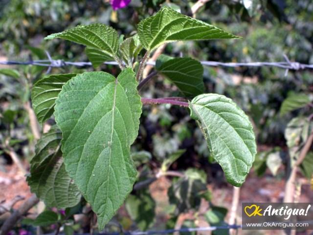 Chichicaste plant Guatemala