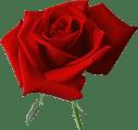 rose,flower,red,