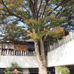 【作法付き】出雲大社美作分院・御神木の大ケヤキの木で縁結びだ!