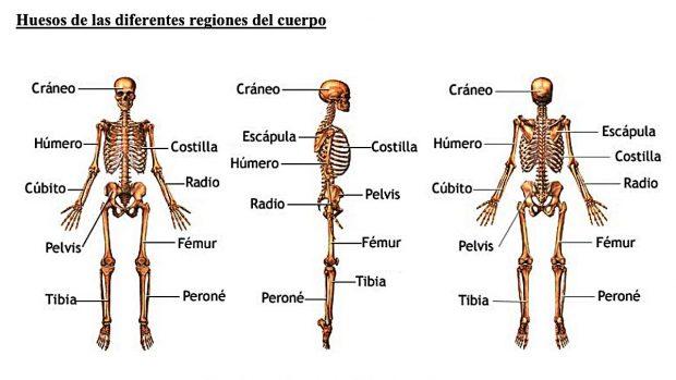 huesos-cuerpo-humano-cuantos-d