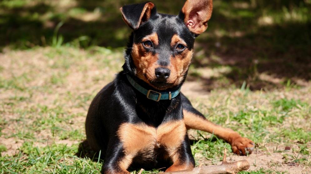 Cmo cuidar a un perro Pincher miniatura de forma correcta