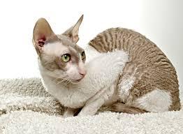 Ras kucing cornish rex