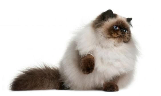 Jenis Kucing Ras Yang Paling Lucu Grosir Kaos Distro
