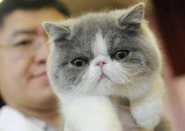 persian peaknose kitten