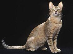 Ras kucing sailan