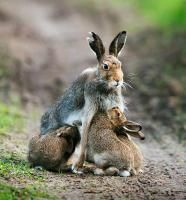 ternak kelinci menyusui