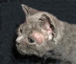 ringworm kucing