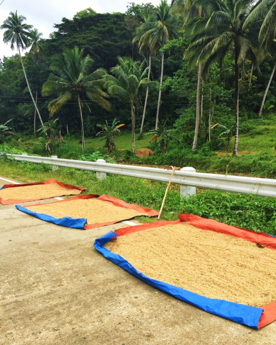 Picture of rice drying roadside on large tarps.