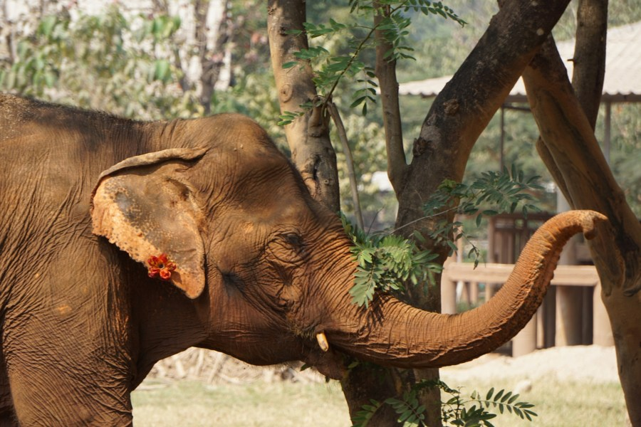 Elephant Nature Park, volunteer, Thailand, gentle giant, responsible tourism