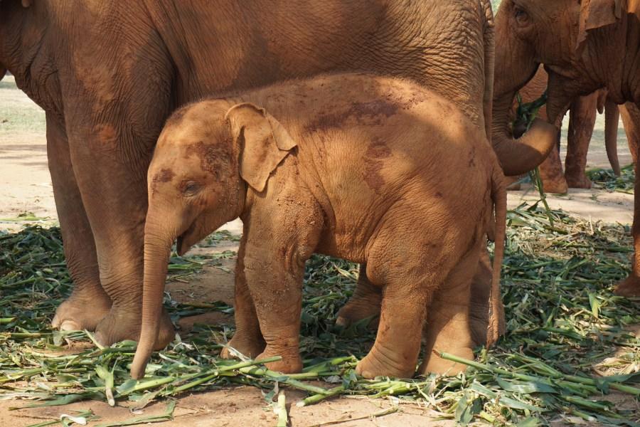 baby elephant, Elephant Nature Park, volunteer, Thailand, gentle giants