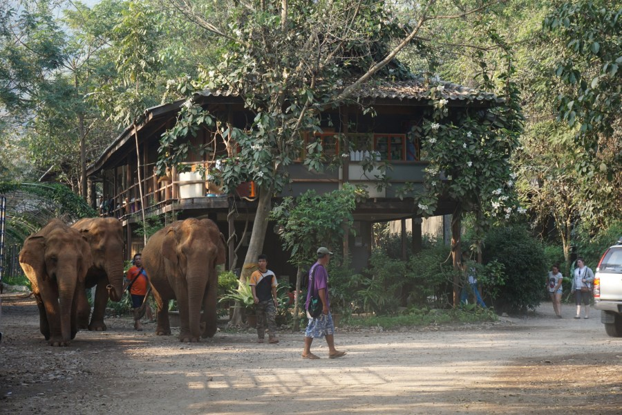 elephant parade, Elephant Nature Park, volunteering, responsible tourism, gentle giants