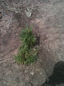 This horseweed, called marestail, is a nuisance in our cotton fields. We sprayed for it this week.