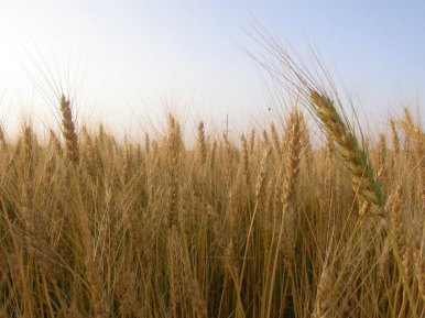 One of our wheat fields prior to harvest.
