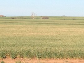 A wheat field Zac planted behind cotton. This field is suffering mainly from drought.