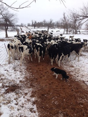 Cowdogs help move holstein cattle on the Mitchell's ranch.