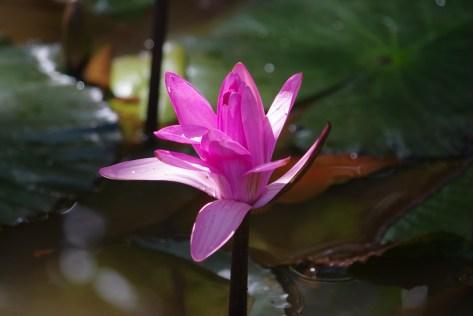 kwiat lotosu w Kambodzy