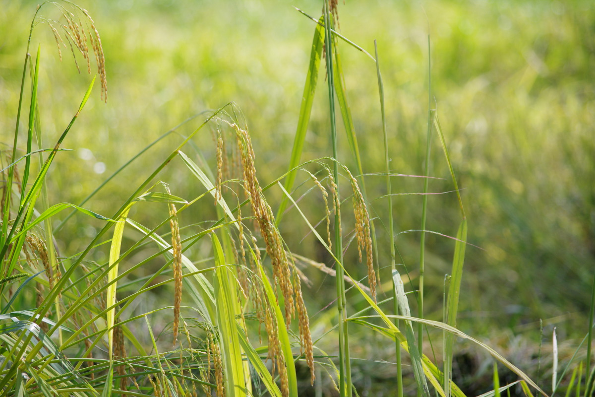 Banteay Srey rice