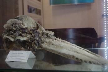 Dom Morświna, Hel, czaszka delfina