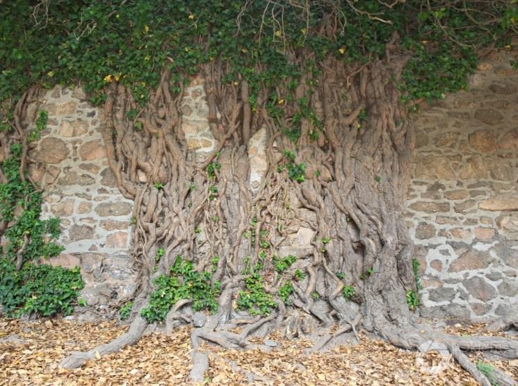 Zamek Chojnik Sobieszów magiczne drzewo