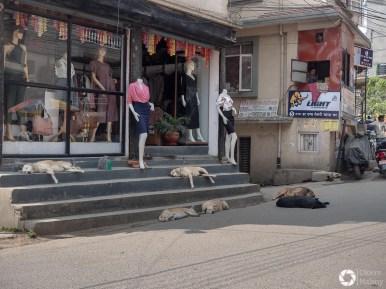 psy w Nepalu
