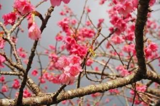 八重岳의 벚꽃