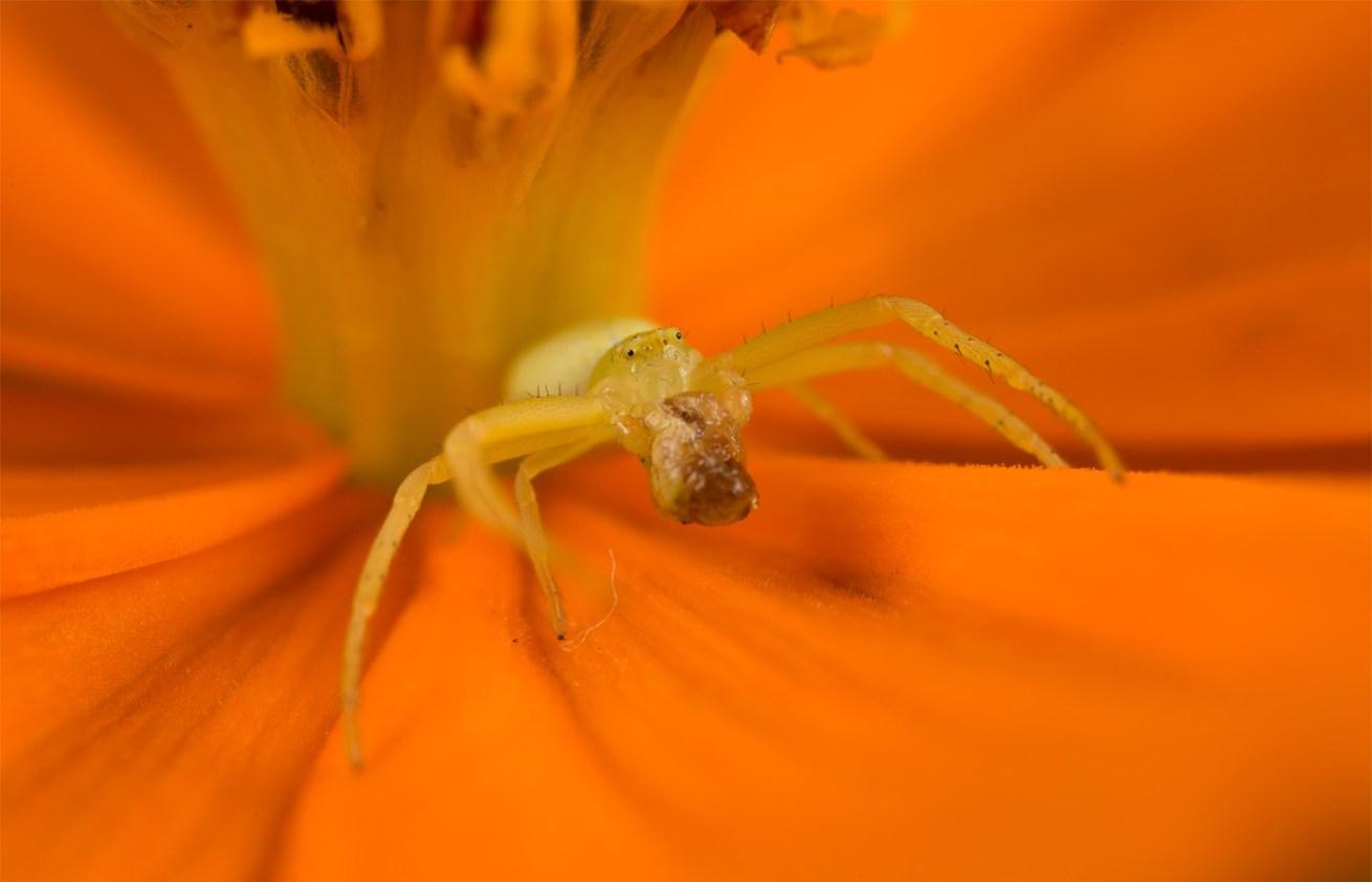 Orange-Flower-Spider