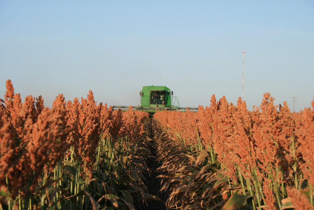 https://i0.wp.com/oklahomafarmreport.com/wire/news/2014/11/media/06400_SorghumHarvest.jpg