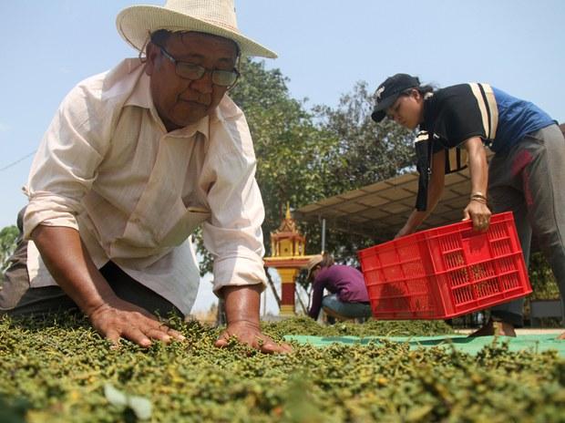 EU Land and Pepper Investment ធ្វើការបញ្ជាទិញម្រេចកំពតរហូតដល់ ៣៥តោន
