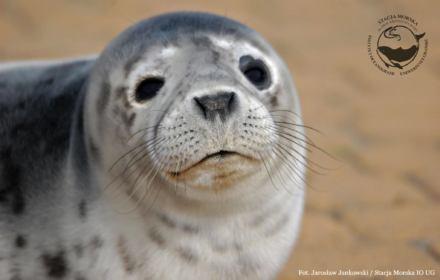 Koronawirus im szkodzi. Małe foki z helskiego fokarium potrzebują pomocy