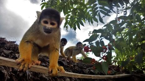 Hip hop bend Majmuni