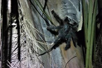 Tarantula odmara na stablu