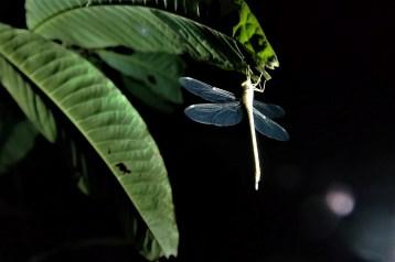 Vilin konjic odmara na listu