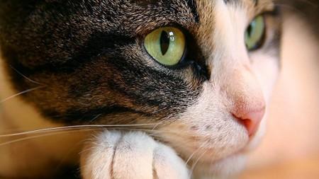 Вирус папилломы у кошек