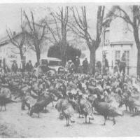 Herding Turkeys in Hancock County, Tennessee