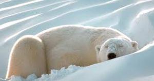 u2 2 300x158 - Hayvanlar niçin kış uykusuna yatarlar?