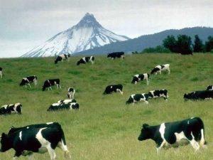 y3 5 300x225 - Yeşil ot yiyen ineklerin sütleri niçin beyazdır?