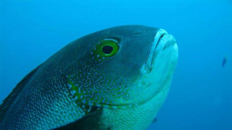 81 Yaşına Kadar Yaşayan Bir Balık Keşfedildi; Rekorlar Alt Üst Oldu