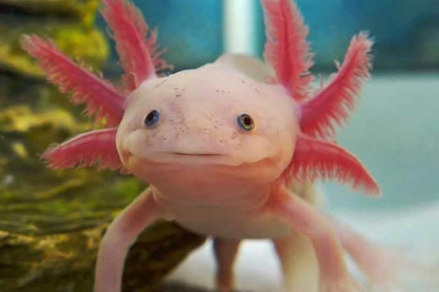 Aksolotl - İlginç Canlılar