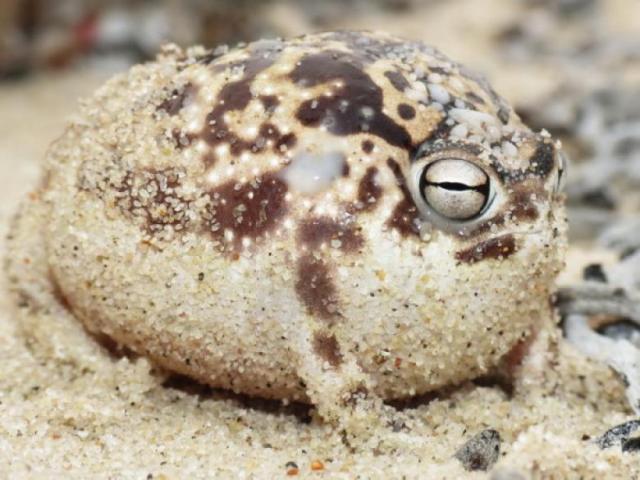 Cape Yagmur Kurbagasi - İlginç Canlılar