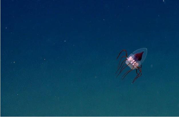 derin deniz denizanasi - İlginç Canlılar