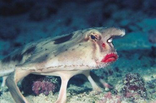 kirmizi dudakli yarasa baligi - İlginç Canlılar