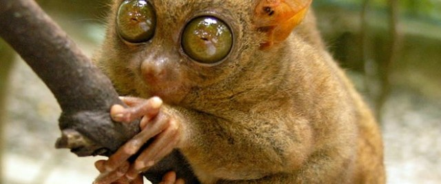 tarsier - İlginç Canlılar