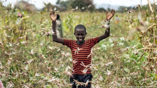 tehdit buyuyor cekirgeler bu kez kenyanin 15 ilcesini istila etti 0 rQMDduMX - Tehdit büyüyor! Çekirgeler bu kez Kenya'nın 15 ilçesini istila etti