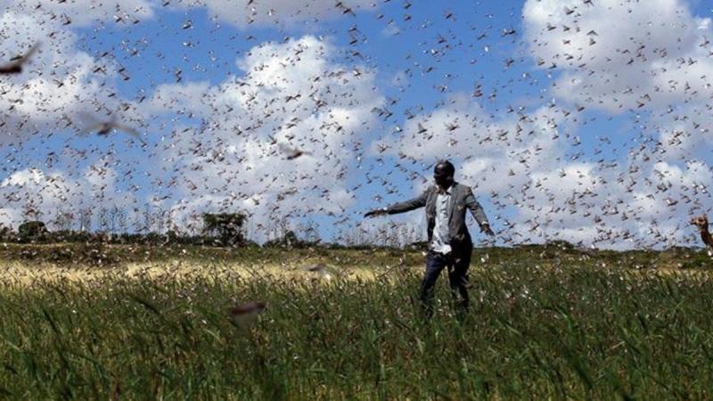 Tehdit büyüyor! Çekirgeler bu kez Kenya'nın 15 ilçesini istila etti