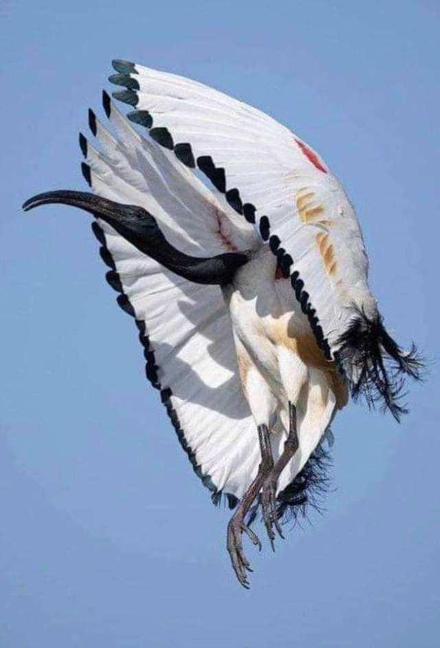 African Sacred Ibis - The Most Beatiful Birds - En Güzel Kuşlar